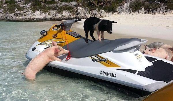 vegantravels - Pigs Island in the Bahamas