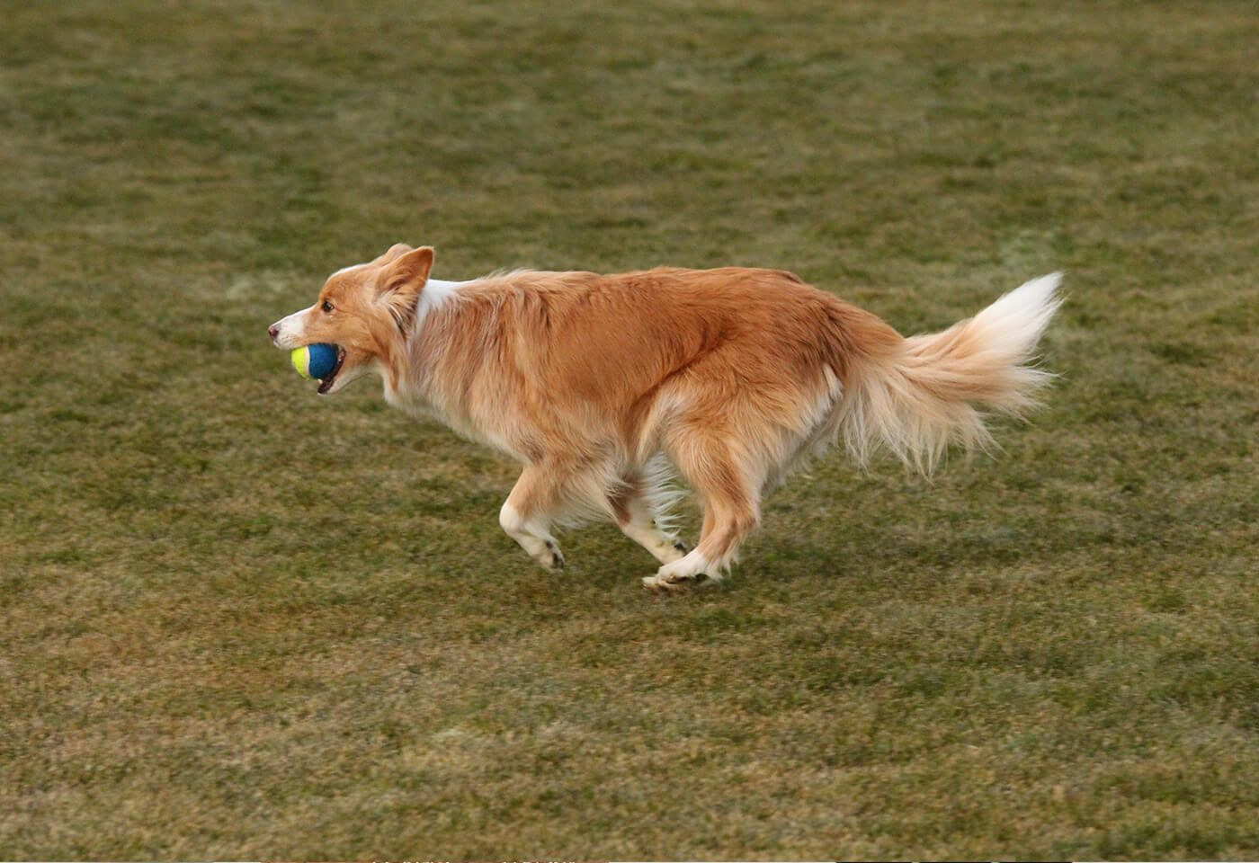 Dog With Ball In Mouth Taken With Canon Eos 700d Dslr Camera Best