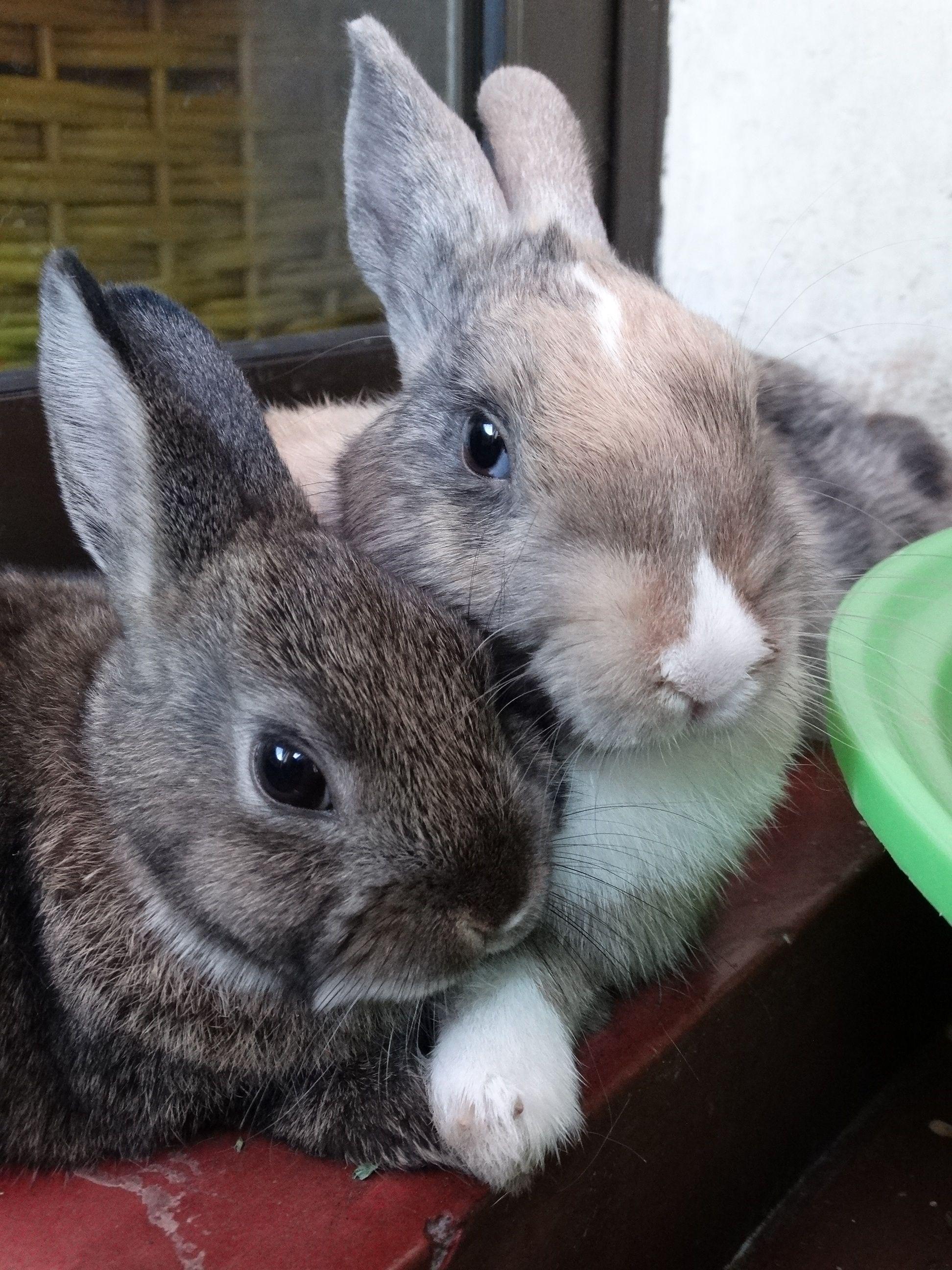 Capu Y Chicolina Dwarf Bunnies Cute Animals