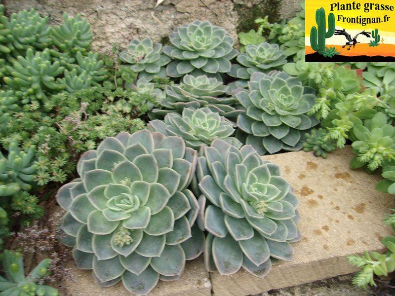 Graptoveria Fantome Cactus Y Suculentas