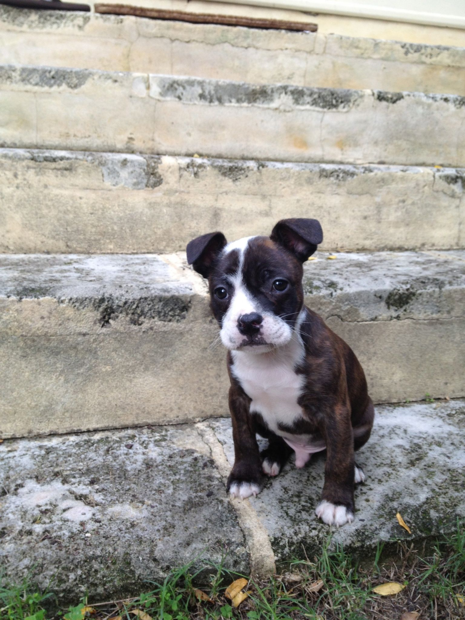Staffy X Frenchie With Images Animals Dogs Boston Terrier