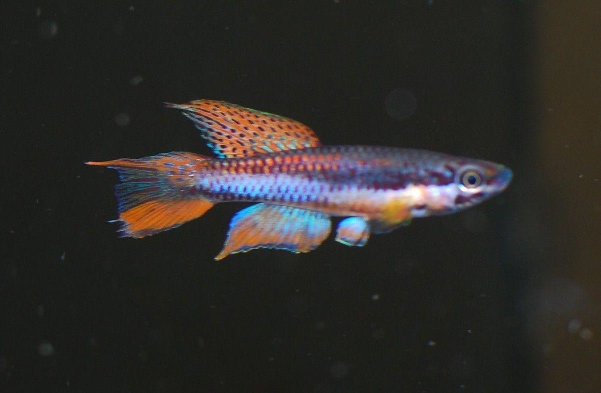 Buy Aphyosemion Bivittatum Online Killi Fish Freshwater Aquatics Fish Tropical Freshwater Fish Fish Pet
