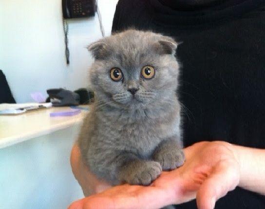 Russian Blue Scottish Fold Munchkin Scottish Fold Kittens