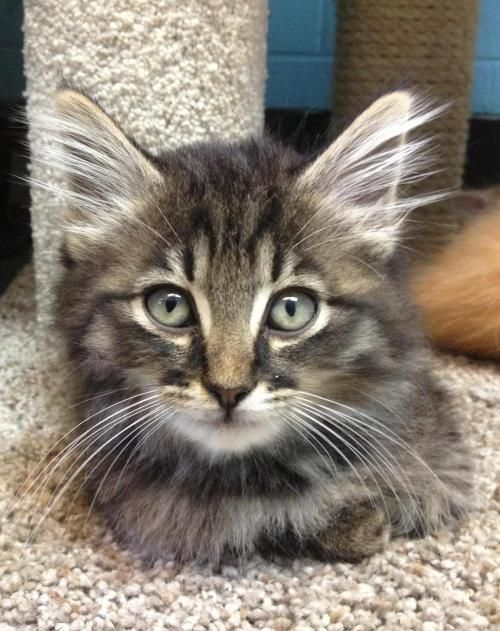 Meet Pooh 22668 A Petfinder Adoptable Domestic Medium Hair Cat Prattville Al Pooh Is A Darling 8 Week Old Long Haired Baby Cats Funny Looking Cats Cats