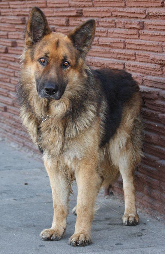 Westside German Shepherd Rescue Of Los Angeles German Shepherd Rescue Alsatian Dog German Shepherd Dogs
