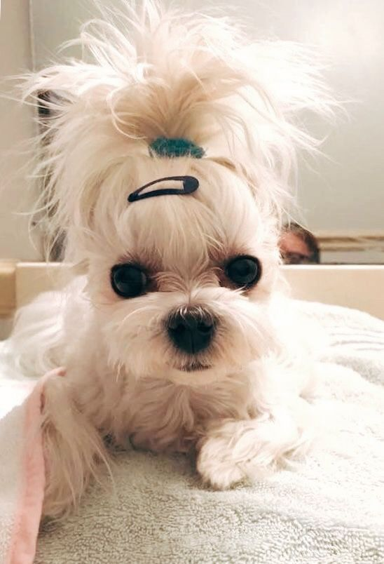 Cute Little Dog With Great Hairstyle Cute Little Dogs Maltese Puppy Cute Dogs