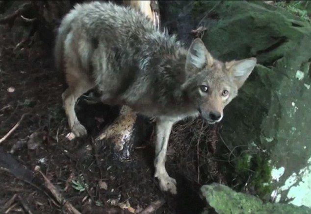 canada goose fur wolf