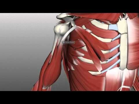 Muscles of the Upper Arm - Anatomy Tutorial - YouTube | Anatomie en ...