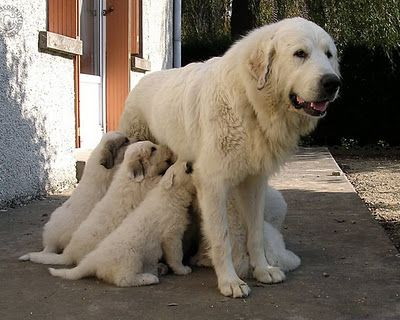 Great Pyrenees Mom Feeding Pups Great Pyrenees Dog Great