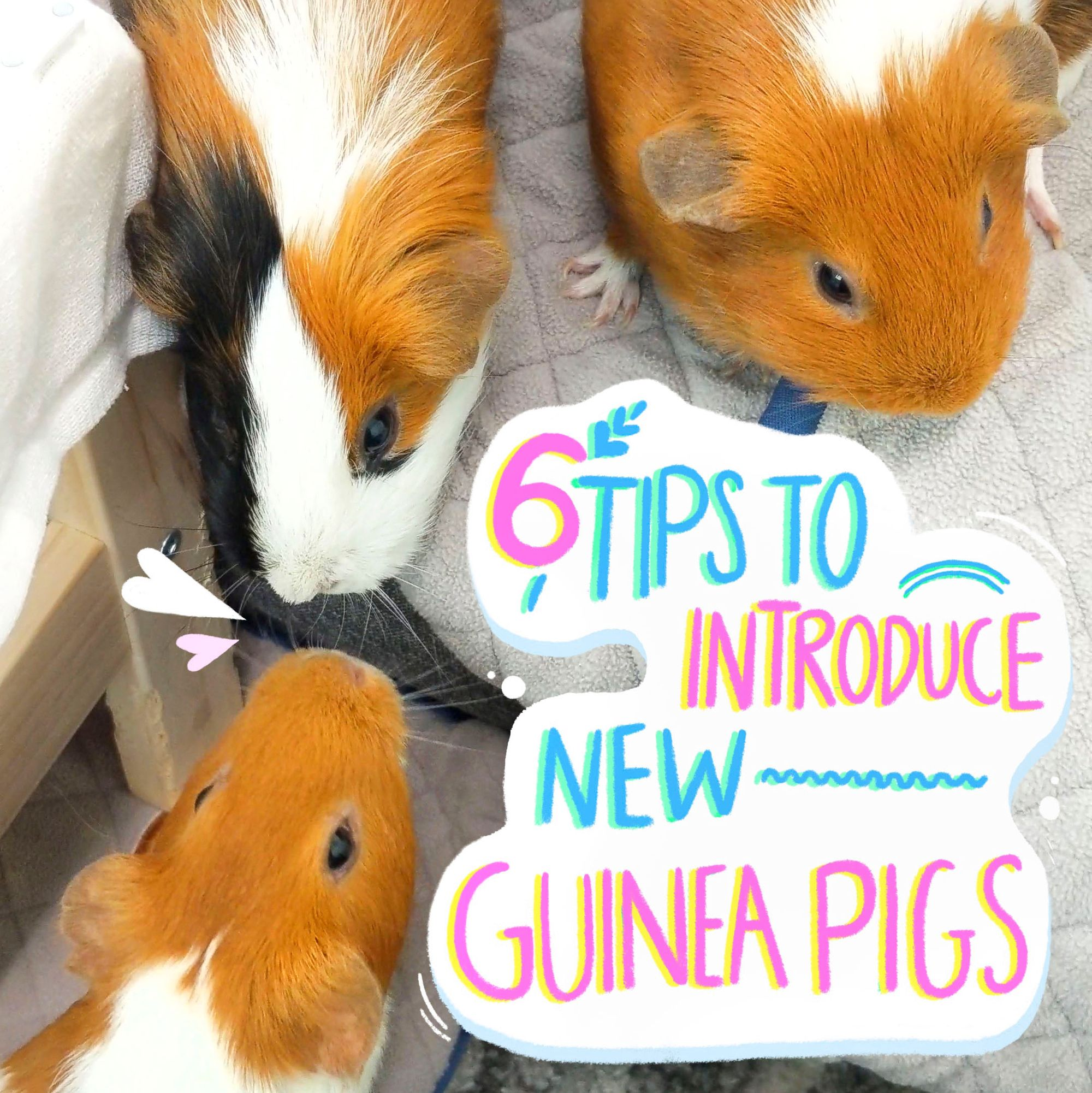 Pin On Guinea Pig Care Tips Guineadad