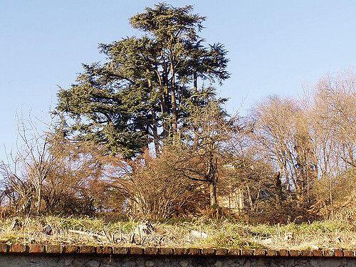 Il CEDRO di Montalenghe TO è alto 36 m,  e un'età di olte 300 anni