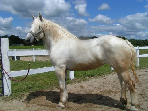 White Percheron Beautiful SOLID WHITE PERCHERON mare for sale - Horse Sales Contracts