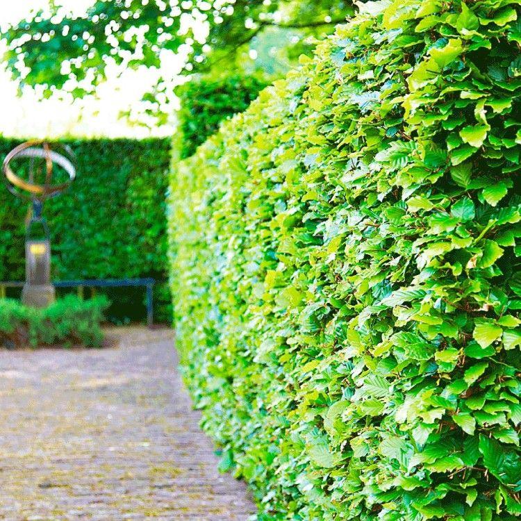 Groene Beukenhaag Tuin Tuin Hagen Tuin Ideeen