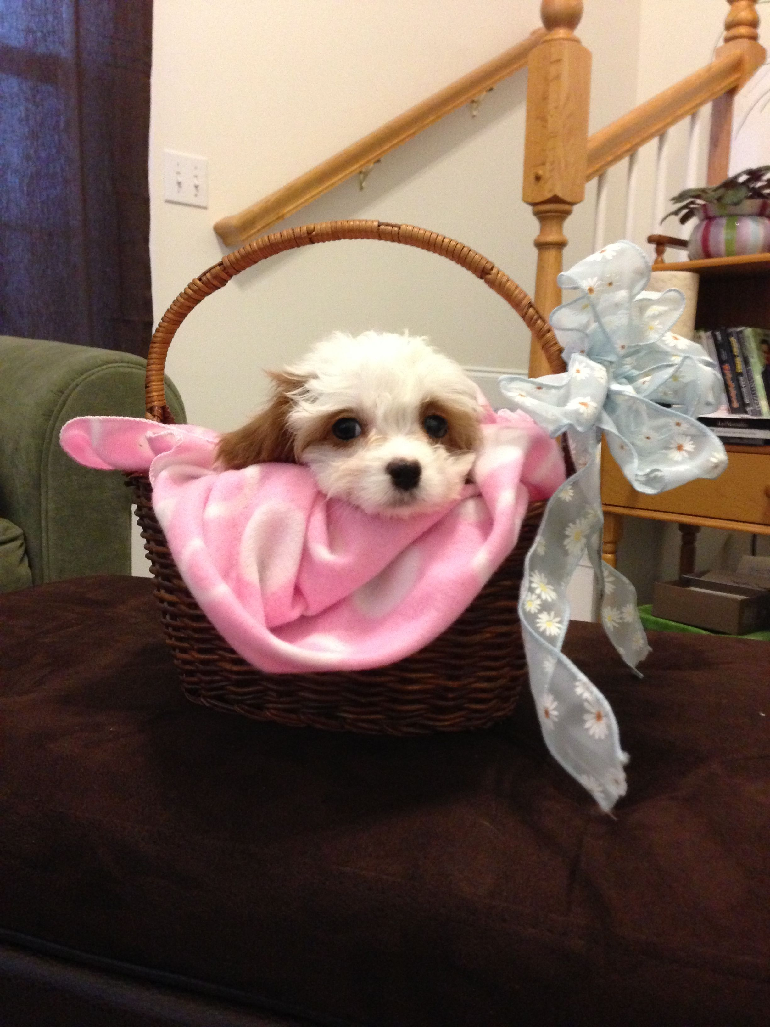 Happy Easter from Willow, Team Kennels Cavapoo 2013