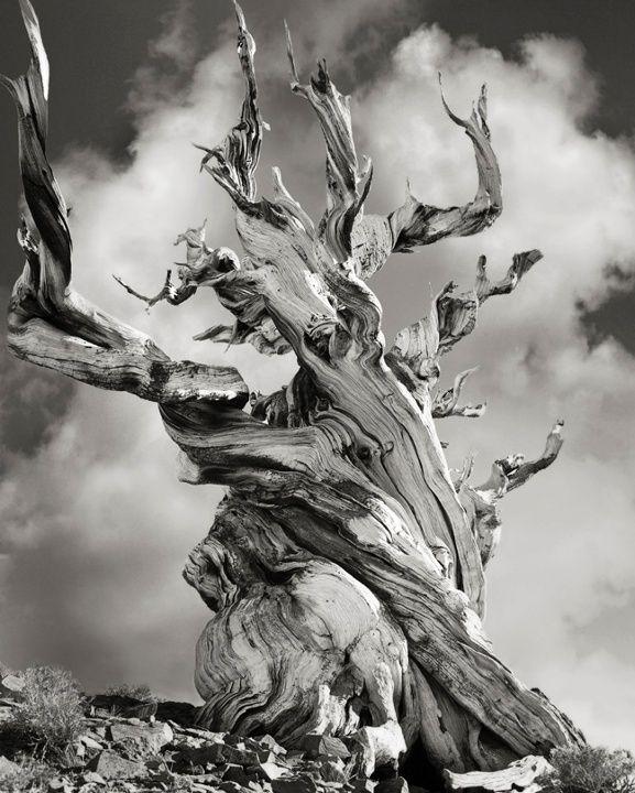 Surreale Schwarz Weiss Bilder Der Altesten Baume Der Welt Alte Baume Baum Fotografie Bild Baum