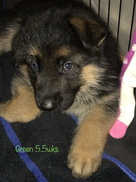 German Shepherd Dog Puppy For Sale In Tampa Fl Adn 45253 On