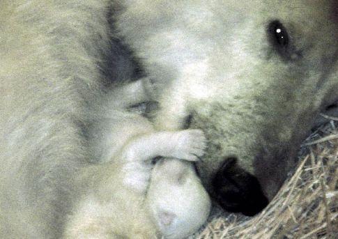 Los Cachorros Nacen Con 30 Cm De Alto Y 700g De Peso Careciendo De Dientes Vista Y Fuerza Alguna Pero En Cinco Meses Crecen Tan Ráp Osos Polares Osezno Osos