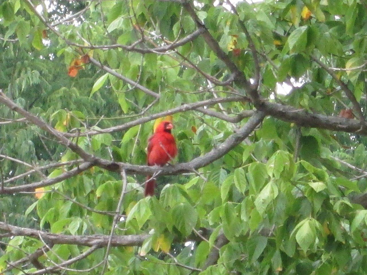 State Bird Of Indiana Illinois Kentucky Ohio North