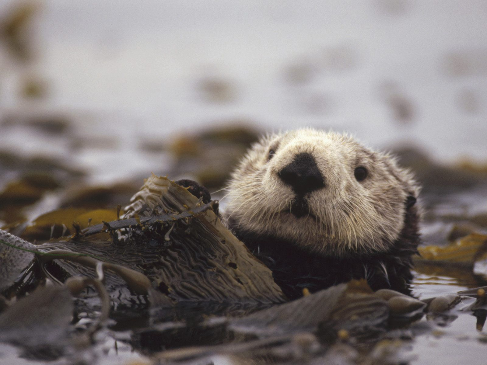 Baby Sea Otters | otter wallpaper , animal wallpapers , otter wallpaper , wallpapers