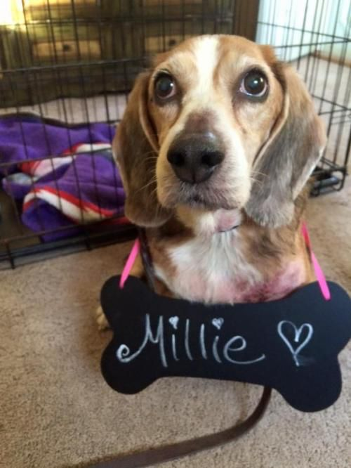 Check out Millie Special Adoption Fee the Dog available