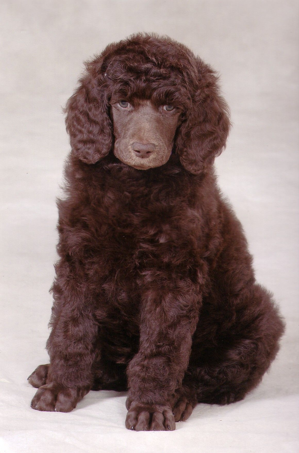 Chocolate standard poodle puppies