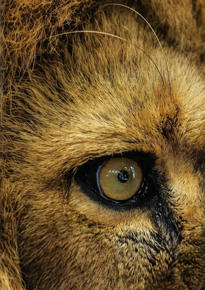 lions eye by Michael Rehbein on 500px Lion eyes, Lion