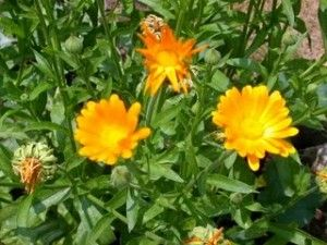 Why Calendula is a great herb for Skin Care