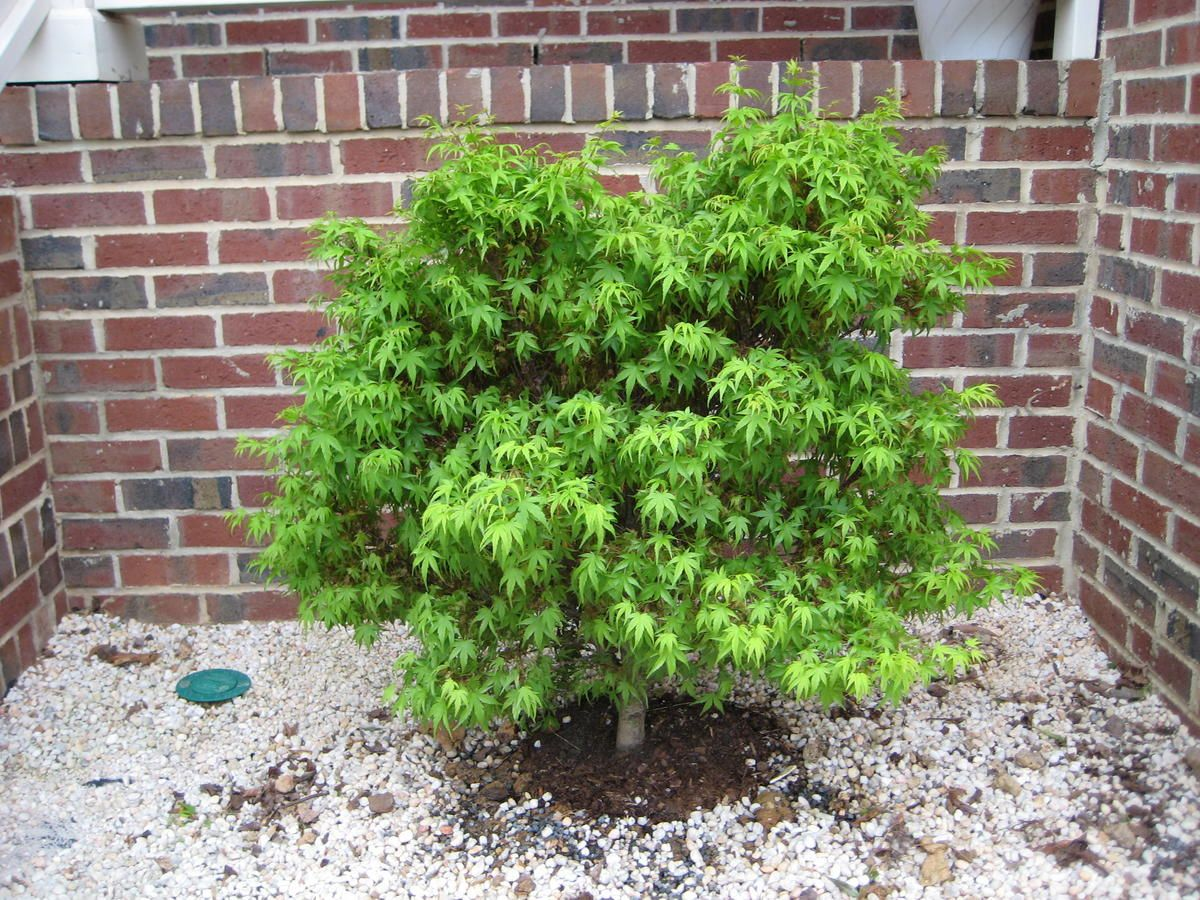 Sharps Pygmy Japanese Maple A Dwarf Japanese Maple With A Compact