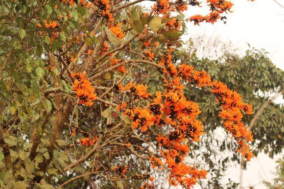 Palash flower in Spring Season 2015 | Wonderful flowers ... Palash Flowers Images