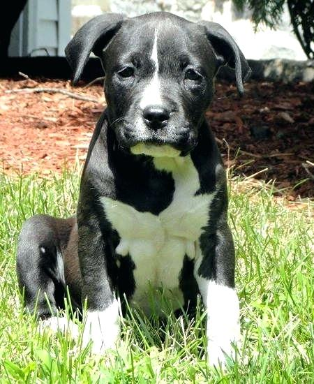 Black And White Pitbull Puppy Pitbull Terrier Bull Terrier Puppy American Pitbull Terrier