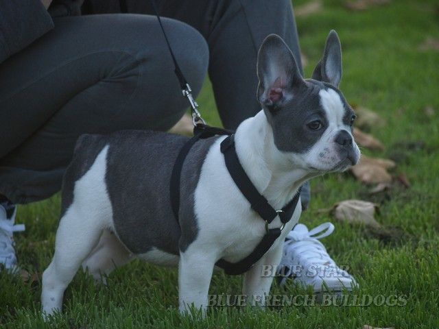blue and white french bulldog puppies | Zoe Fans Blog