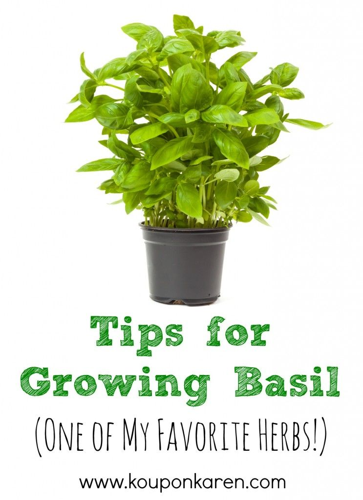 Tips For Growing Basil One Of My Favorite Herbs Http