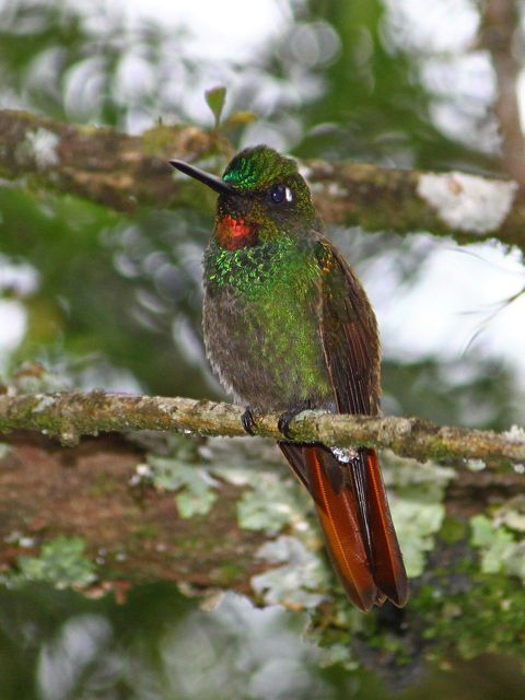 Foto beija-flor-rubi (Clytolaema rubricauda) por Fernando Figueiredo | Wiki Aves - A Enciclopédia das Aves do Brasil