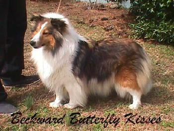 Blessed Shelties Shetland Sheepdog With Images Sheltie Shetland Sheepdog Sheltie Dogs
