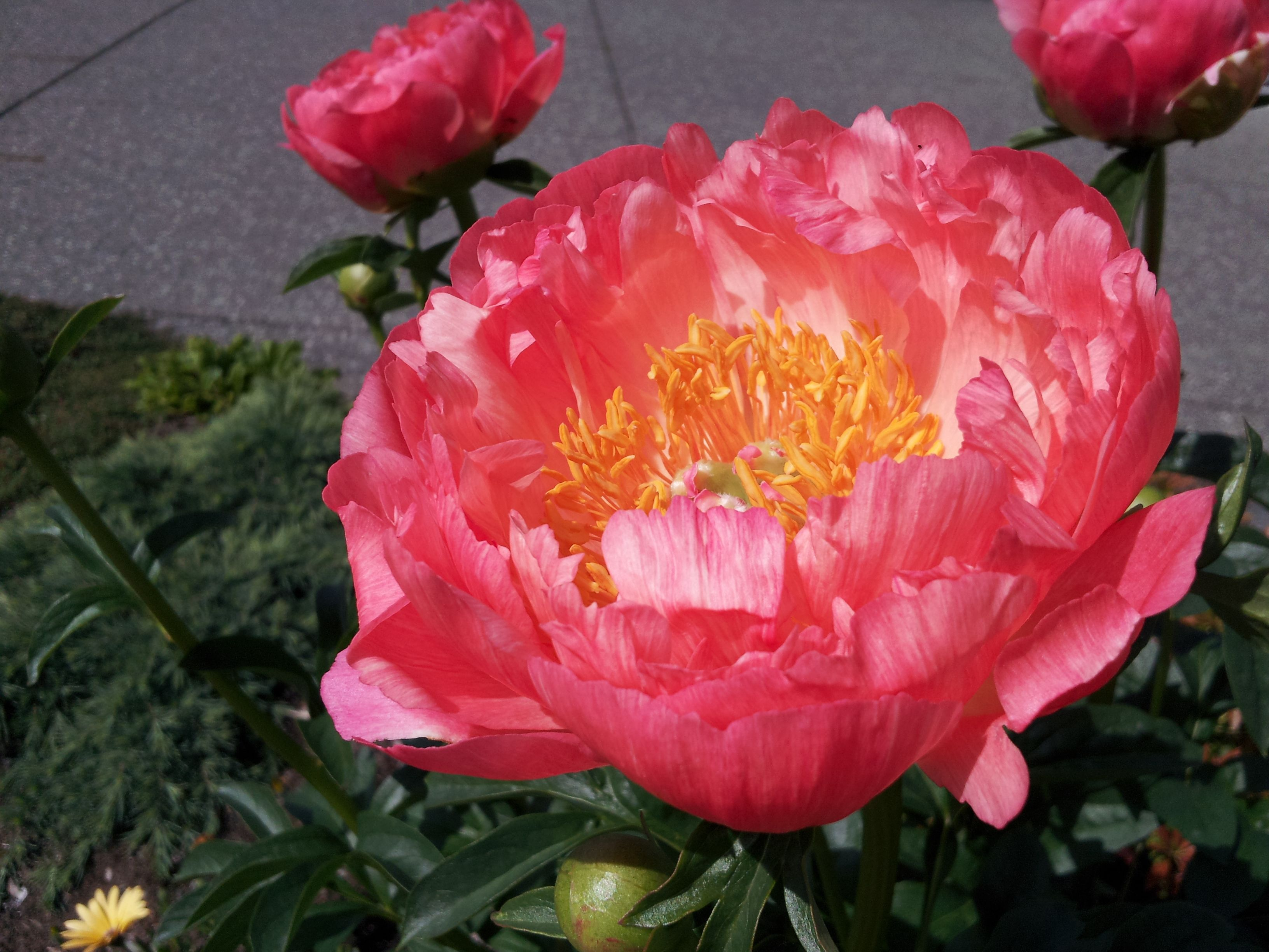 Coral Sunset Peony: description, photo 49