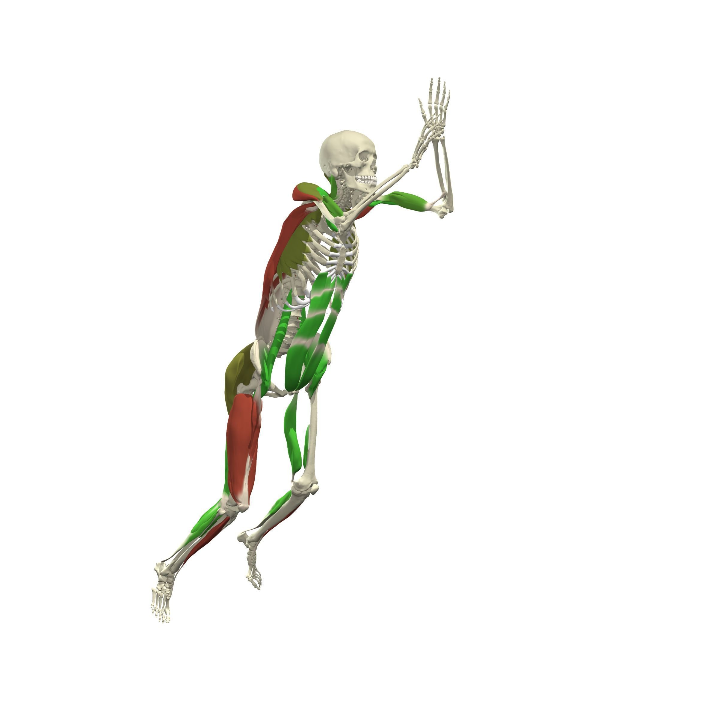 Primals 3d Human Functional Anatomy Demonstrates Muscle Movements