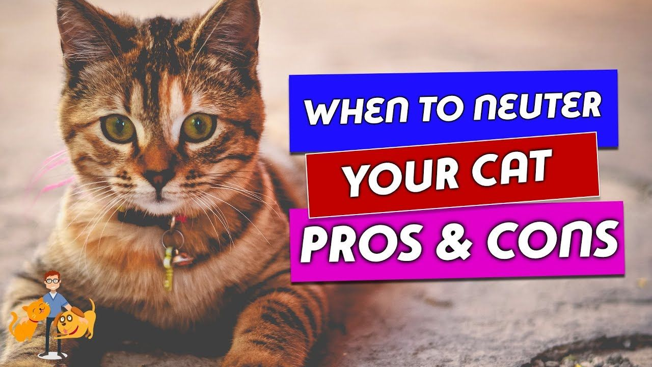 When Should You Neuter A Cat And Why The Risks And Benefits Youtube Cat Neutering Neuter Older Cats