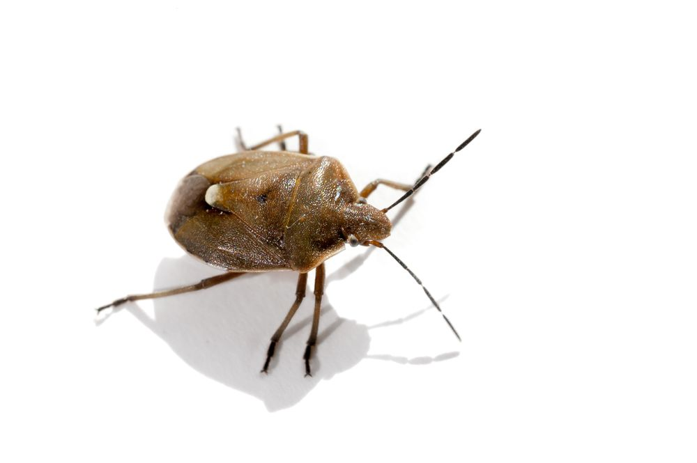 What Types Of Bed Bugs Are In Your Home While There Are