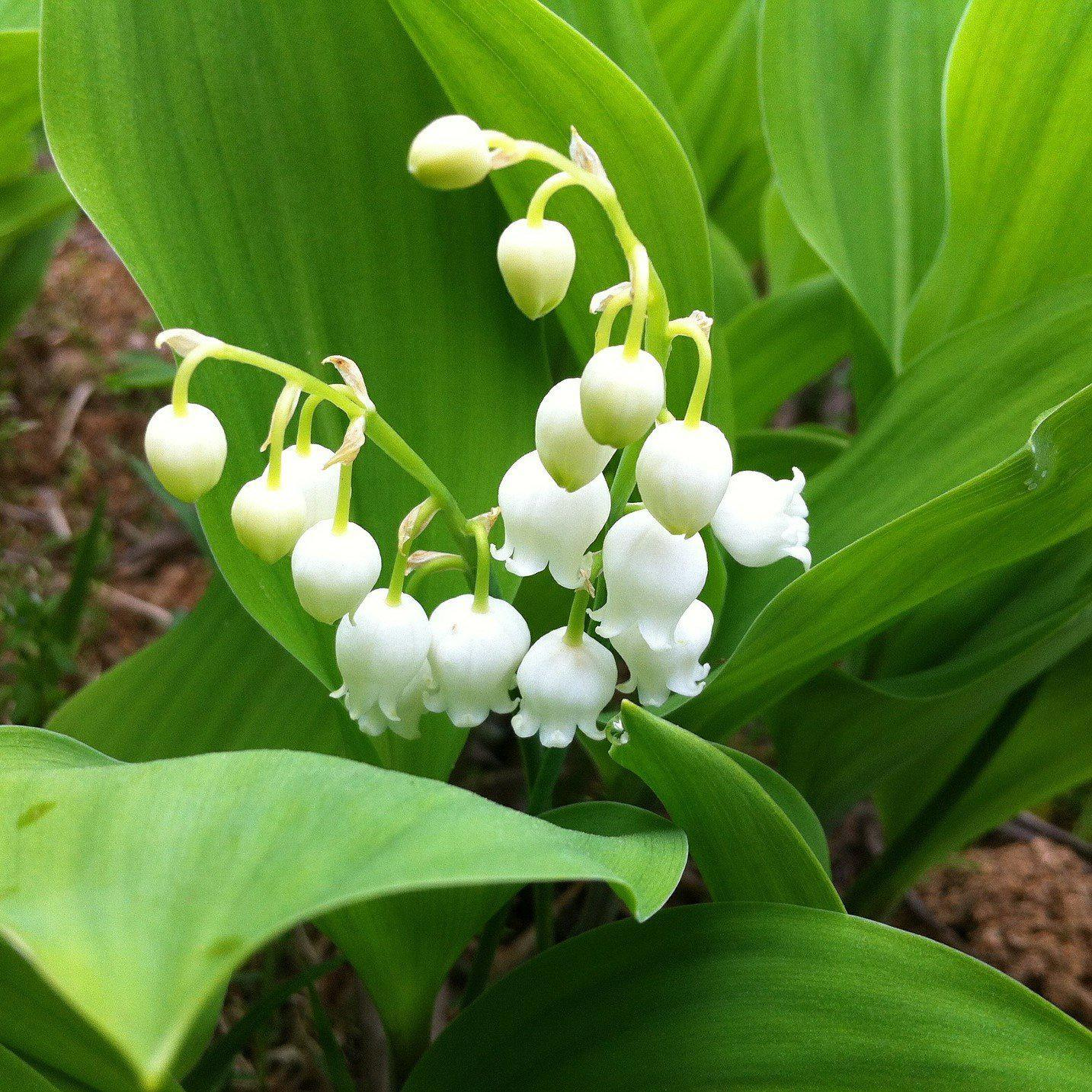 Lily Of The Valley 6 Flowering Size Pips Poisonous Plants Smelling Flowers Easy To Grow Bulbs