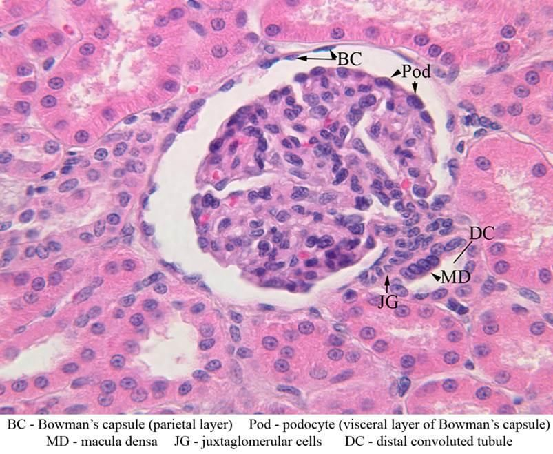 Histology - Kidney Cortex glomerulus BC - Bowman's Capusle ...