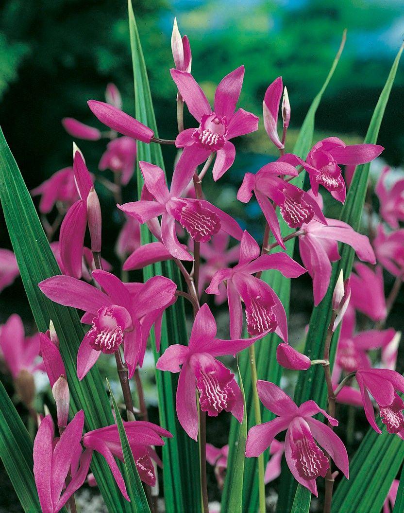 Bletilla Striata | Jardin | Orchidaceae, Orchids et Plants