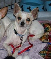 Adopt Poppy Scrapper On Too Cute Chihuahua Dogs Dogs