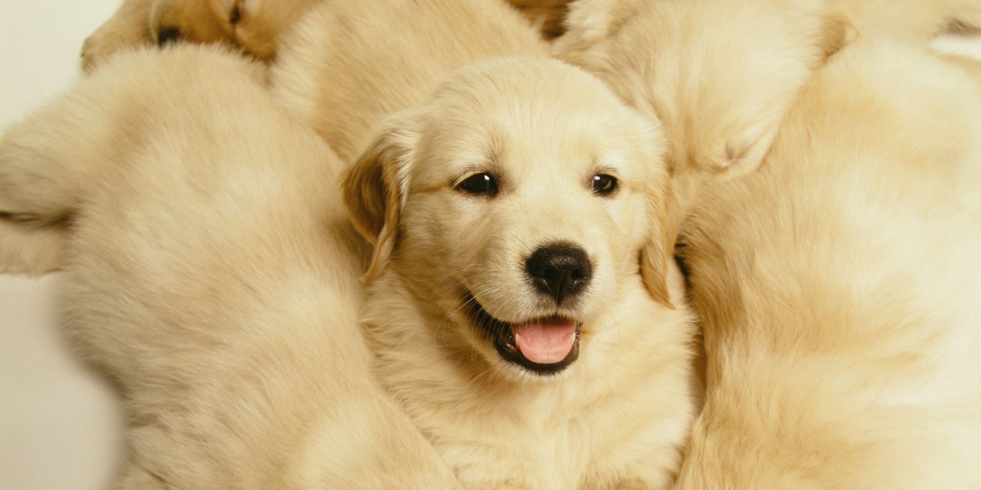 Golden Retriever Puppy Cam Is The Best Thing To Happen To