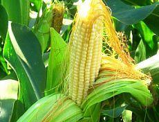 посадить кукурузу на даче как замачивать семена