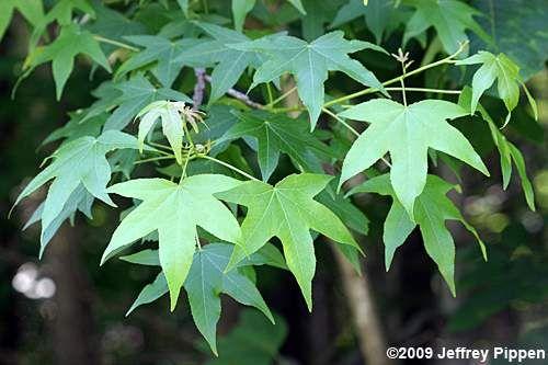 Liquidambar Sweetgum Plants Plant Species Sarah S Garden