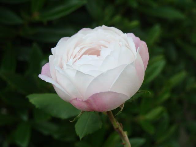 Mme Pierre Oger a bourbon rose