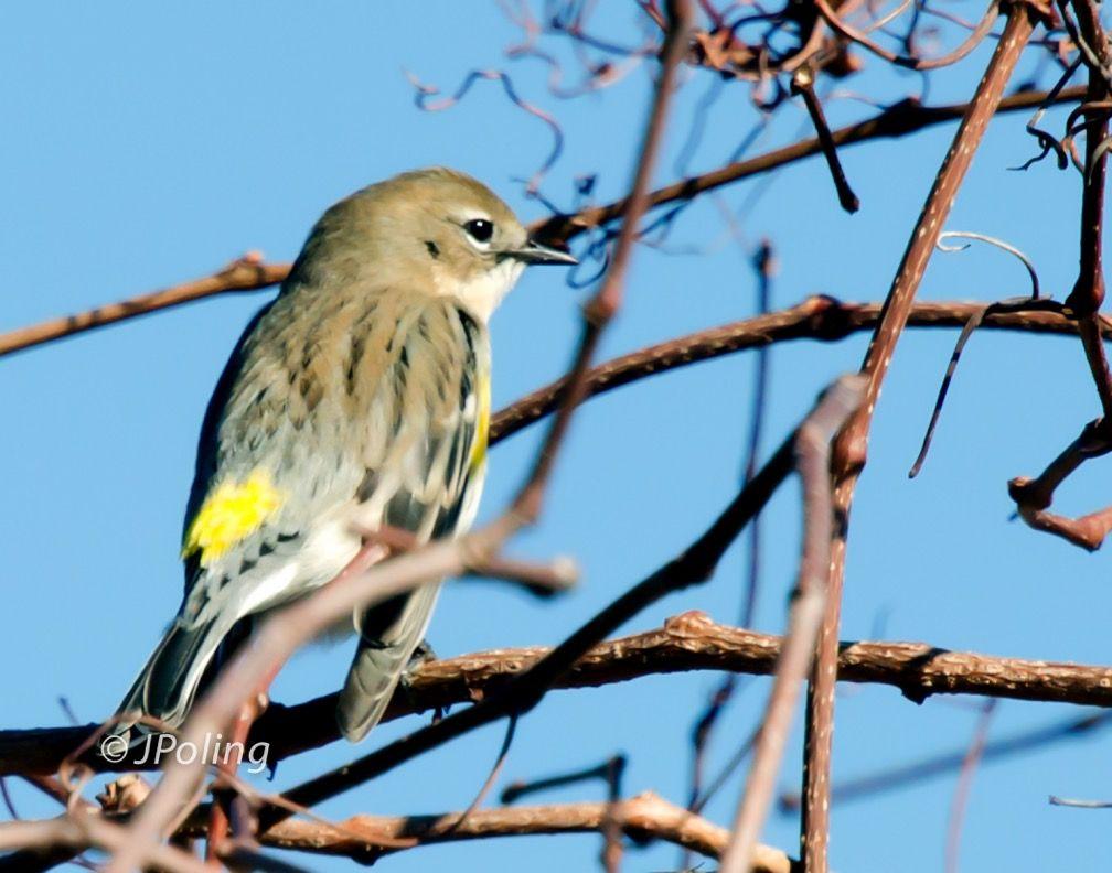 Yellowrumped Warbler, Huntington Beach State Park, SC
