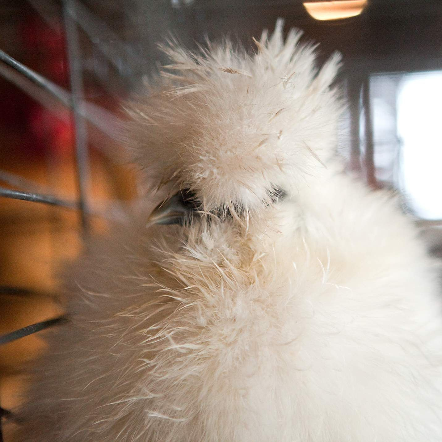 This is my friend whitneyk123 's chicken isn't she beautiful!!