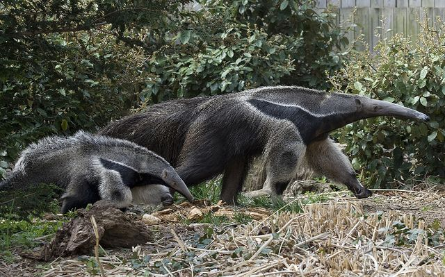 Giant Anteater | Flickr - Photo Sharing!