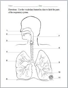 Respiratory system pinterest respiratory system worksheets and respiratory system worksheet ccuart Image collections